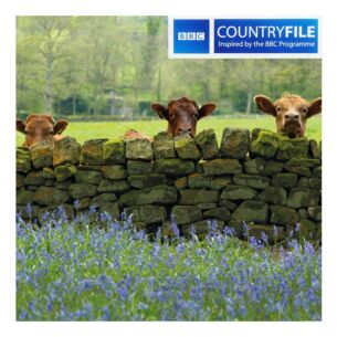 Country File – Cattle and Bluebells Greeting Card